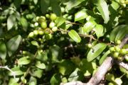 Фото 15 Бирючина обыкновенная: посадка, способы размножения и несложные правила ухода