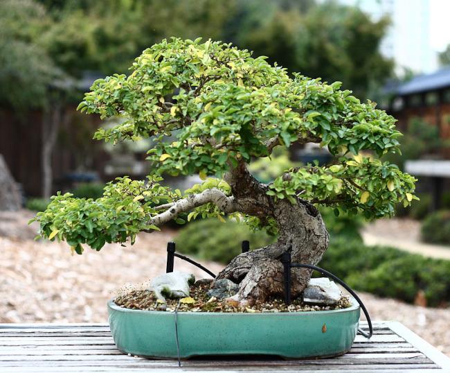 Вечнозеленое дерево, которое прекрасно произрастает в комнатных условиях