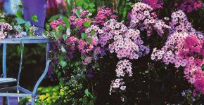 Шиловидный флокс (60+ фото в ландшафтном дизайне): описание сортов, посадка, уход, выращивание и размножение фото