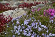 Фото 18 Шиловидный флокс (60+ фото в ландшафтном дизайне): описание сортов, посадка, уход, выращивание и размножение