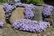 Фото 9 Шиловидный флокс (60+ фото в ландшафтном дизайне): описание сортов, посадка, уход, выращивание и размножение