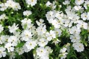 Фото 20 Шиловидный флокс: популярные сорта, особенности ухода и варианты размножения
