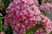 Фото 21 Шиловидный флокс (60+ фото в ландшафтном дизайне): описание сортов, посадка, уход, выращивание и размножение