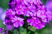 Фото 22 Шиловидный флокс (60+ фото в ландшафтном дизайне): описание сортов, посадка, уход, выращивание и размножение