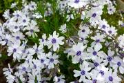 Фото 1 Шиловидный флокс (60+ фото в ландшафтном дизайне): описание сортов, посадка, уход, выращивание и размножение