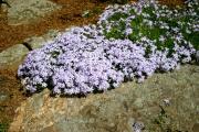 Фото 2 Шиловидный флокс: популярные сорта, особенности ухода и варианты размножения