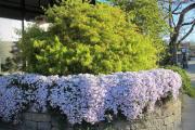 Фото 16 Шиловидный флокс (60+ фото в ландшафтном дизайне): описание сортов, посадка, уход, выращивание и размножение