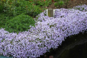 Фото 12 Шиловидный флокс: популярные сорта, особенности ухода и варианты размножения