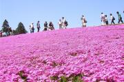 Фото 3 Шиловидный флокс (60+ фото в ландшафтном дизайне): описание сортов, посадка, уход, выращивание и размножение