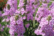 Фото 24 Шиловидный флокс (60+ фото в ландшафтном дизайне): описание сортов, посадка, уход, выращивание и размножение