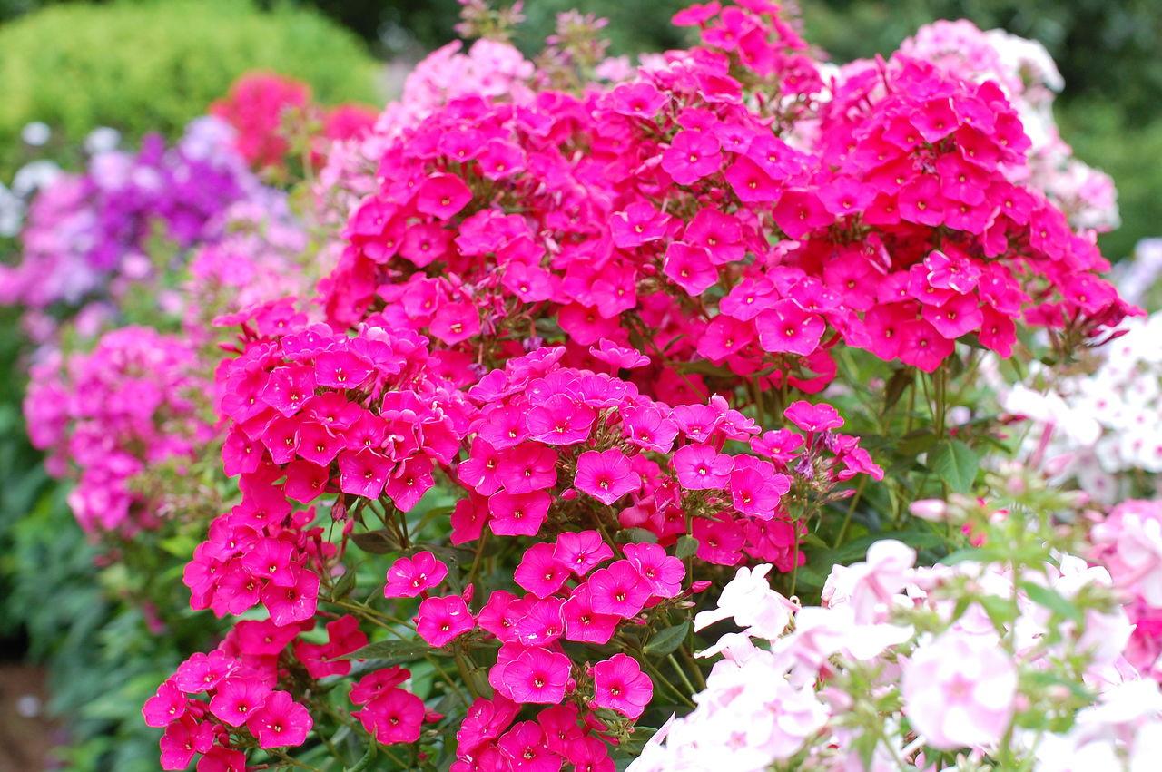 Флоксы многолетние цветы в саду. Посадка и уход. Популярные 94