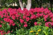 Фото 25 Шиловидный флокс: популярные сорта, особенности ухода и варианты размножения