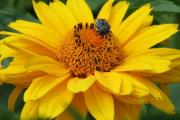 Фото 1 Гелиопсис (60+ фото цветка): сорта с описанием, пошагово посадка и уход в открытом грунте, выращивание и размножение