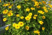 Фото 7 Гелиопсис (60+ фото цветка): сорта с описанием, пошагово посадка и уход в открытом грунте, выращивание и размножение