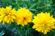 Фото 10 Гелиопсис (60+ фото цветка): сорта с описанием, пошагово посадка и уход в открытом грунте, выращивание и размножение