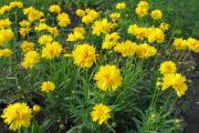 Фото 11 Гелиопсис (60+ фото цветка): сорта с описанием, пошагово посадка и уход в открытом грунте, выращивание и размножение