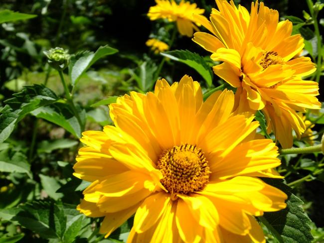 Гелиопсис - это небольшое солнце в вашем саду