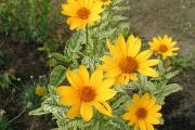 Фото 13 Гелиопсис (60+ фото цветка): сорта с описанием, пошагово посадка и уход в открытом грунте, выращивание и размножение