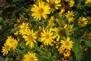 Фото 14 Гелиопсис (60+ фото цветка): сорта с описанием, пошагово посадка и уход в открытом грунте, выращивание и размножение