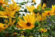 Фото 15 Гелиопсис (60+ фото цветка): сорта с описанием, пошагово посадка и уход в открытом грунте, выращивание и размножение