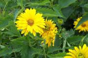 Фото 16 Гелиопсис (60+ фото цветка): сорта с описанием, пошагово посадка и уход в открытом грунте, выращивание и размножение