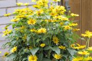 Фото 2 Гелиопсис (60+ фото цветка): сорта с описанием, пошагово посадка и уход в открытом грунте, выращивание и размножение
