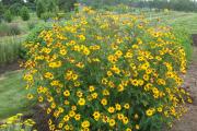 Фото 3 Гелиопсис: разнообразие сортов «солнечника», посадка, уход и размножение