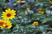 Фото 4 Гелиопсис (60+ фото цветка): сорта с описанием, пошагово посадка и уход в открытом грунте, выращивание и размножение