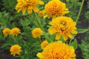 Фото 26 Гелиопсис (60+ фото цветка): сорта с описанием, пошагово посадка и уход в открытом грунте, выращивание и размножение
