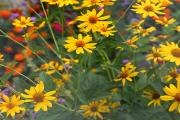 Фото 27 Гелиопсис (60+ фото цветка): сорта с описанием, пошагово посадка и уход в открытом грунте, выращивание и размножение