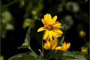 Фото 28 Гелиопсис (60+ фото цветка): сорта с описанием, пошагово посадка и уход в открытом грунте, выращивание и размножение