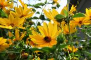 Фото 6 Гелиопсис (60+ фото цветка): сорта с описанием, пошагово посадка и уход в открытом грунте, выращивание и размножение