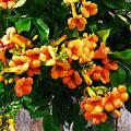 Кампсис или бигнония (65+ фото цветов): посадка и уход, секреты правильного выращивания и обрезки фото