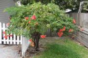 Фото 12 Кампсис или бигнония (65+ фото цветов): посадка и уход, секреты правильного выращивания и обрезки