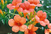 Фото 29 Кампсис или бигнония (65+ фото цветов): посадка и уход, секреты правильного выращивания и обрезки