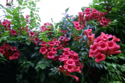 Фото 19 Кампсис или бигнония (65+ фото цветов): посадка и уход, секреты правильного выращивания и обрезки