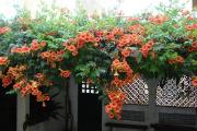Фото 18 Кампсис или бигнония (65+ фото цветов): посадка и уход, секреты правильного выращивания и обрезки