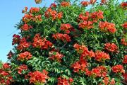 Фото 8 Кампсис или бигнония (65+ фото цветов): посадка и уход, секреты правильного выращивания и обрезки