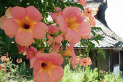 Фото 27 Кампсис или бигнония (65+ фото цветов): посадка и уход, секреты правильного выращивания и обрезки