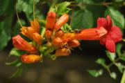 Фото 28 Кампсис или бигнония (65+ фото цветов): посадка и уход, секреты правильного выращивания и обрезки