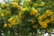 Фото 20 Кампсис или бигнония (65+ фото цветов): посадка и уход, секреты правильного выращивания и обрезки