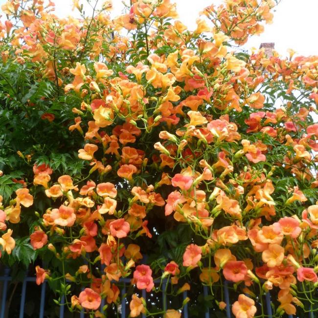 Кампсис - довольно неприхотливое растение, соблюдая несложные правила ухода, можно добиться превосходных результатов