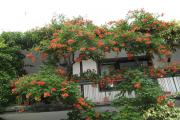 Фото 21 Кампсис или бигнония (65+ фото цветов): посадка и уход, секреты правильного выращивания и обрезки