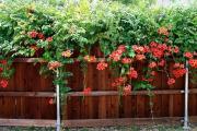 Фото 5 Кампсис или бигнония (65+ фото цветов): посадка и уход, секреты правильного выращивания и обрезки