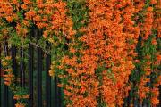 Фото 6 Кампсис или бигнония (65+ фото цветов): посадка и уход, секреты правильного выращивания и обрезки