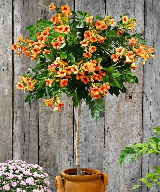 Можно приобрести взрослое растение в специализированных магазинах и высадить его в грунт на вашем участке