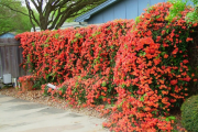 Фото 15 Кампсис или бигнония (65+ фото цветов): посадка и уход, секреты правильного выращивания и обрезки