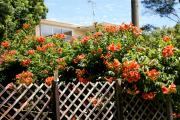 Фото 16 Кампсис или бигнония (65+ фото цветов): посадка и уход, секреты правильного выращивания и обрезки