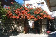 Фото 30 Кампсис или бигнония (65+ фото цветов): посадка и уход, секреты правильного выращивания и обрезки