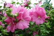 Фото 5 Лаватера многолетняя (65+ фото сортов): посадка и уход на клумбе — советы от опытных садоводов